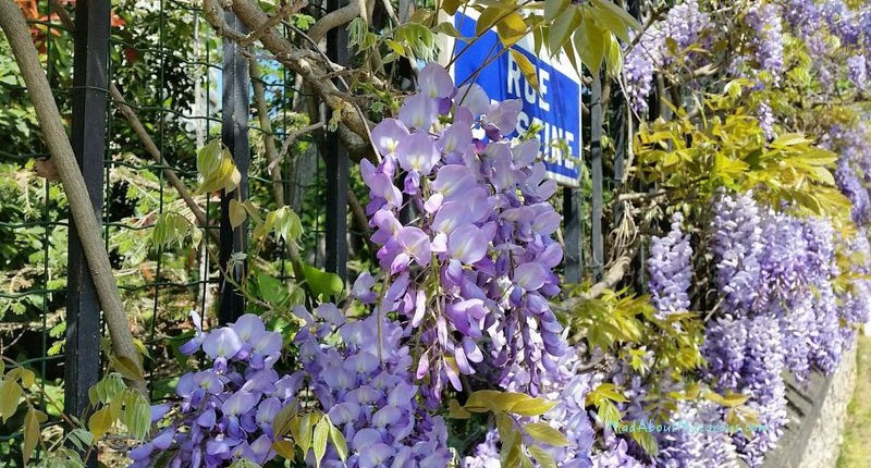 wisteria-paris-800x430